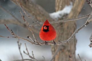 Cardinal in Snow | Swisher, IA