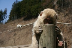 Young Snow Monkey | Nagano, Japan